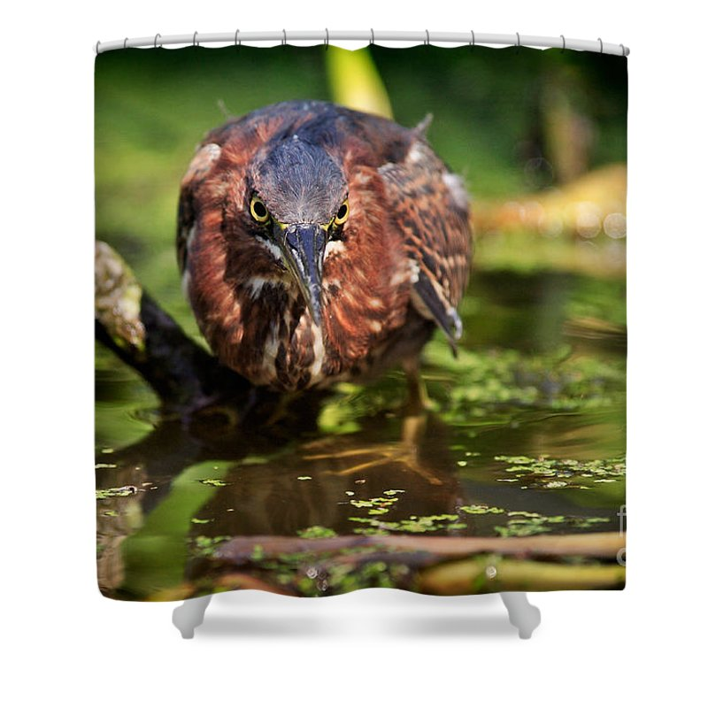 Green Heron Shower Curtain featuring the photograph Green Heron by Matt Suess
