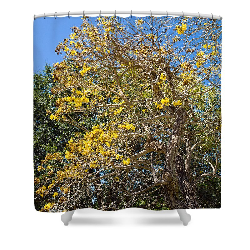 Florida; Tree; Plant; Flower; Flowering; Blossom; Blossoming; Jerusalem; Thorn; Possom; Mexican; Pal Shower Curtain featuring the photograph Jerusalem Thorn Tree by Allan Hughes