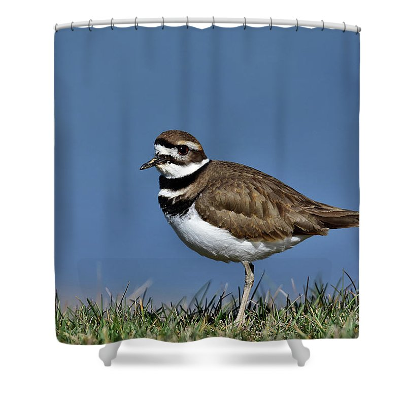 Killdeer Charadrius Vociferous Brown Back White Breast Black Bands Bird Nature Wildlife Photo Photography Water Grass Feathers Broken-wing Act Shower Curtain featuring the photograph Killdeer by Gary Walker