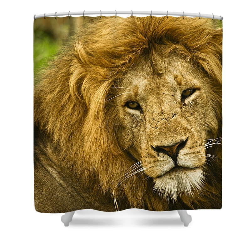Lion Shower Curtain featuring the photograph King Of The Savanna by Michele Burgess