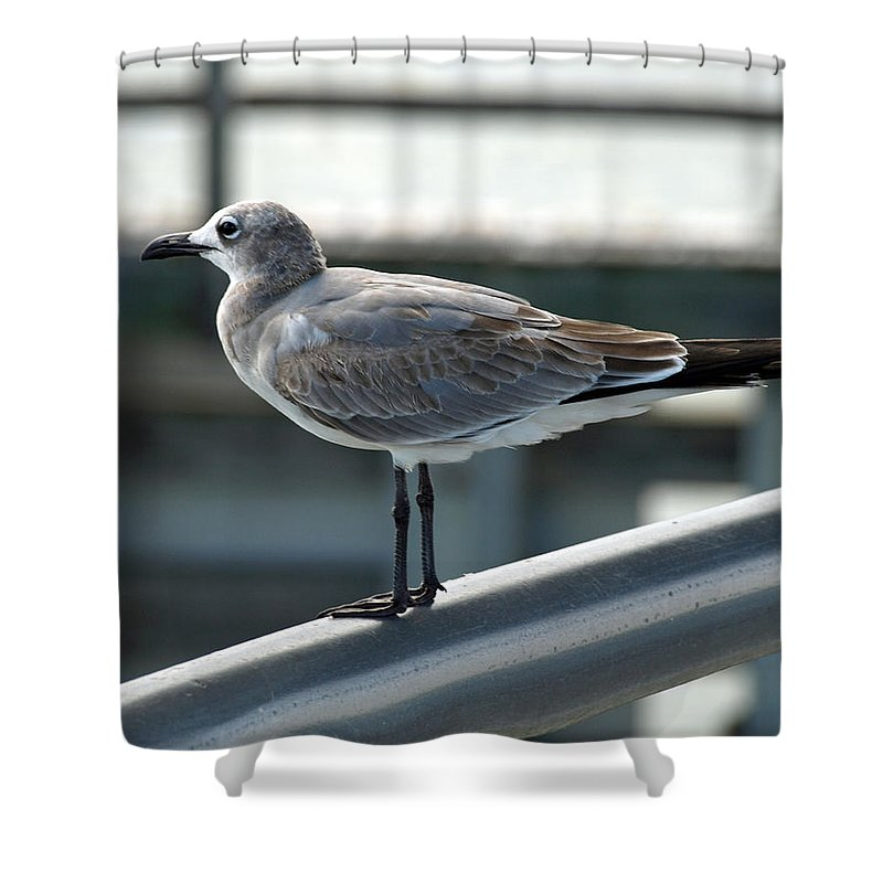 Laughing; Gull; Seagull; Bird; Waterfowl; Seashore; Sebastian; Inlet; Flying; Florida; Larus; Atrici Shower Curtain featuring the photograph Laughing Gull by Allan Hughes