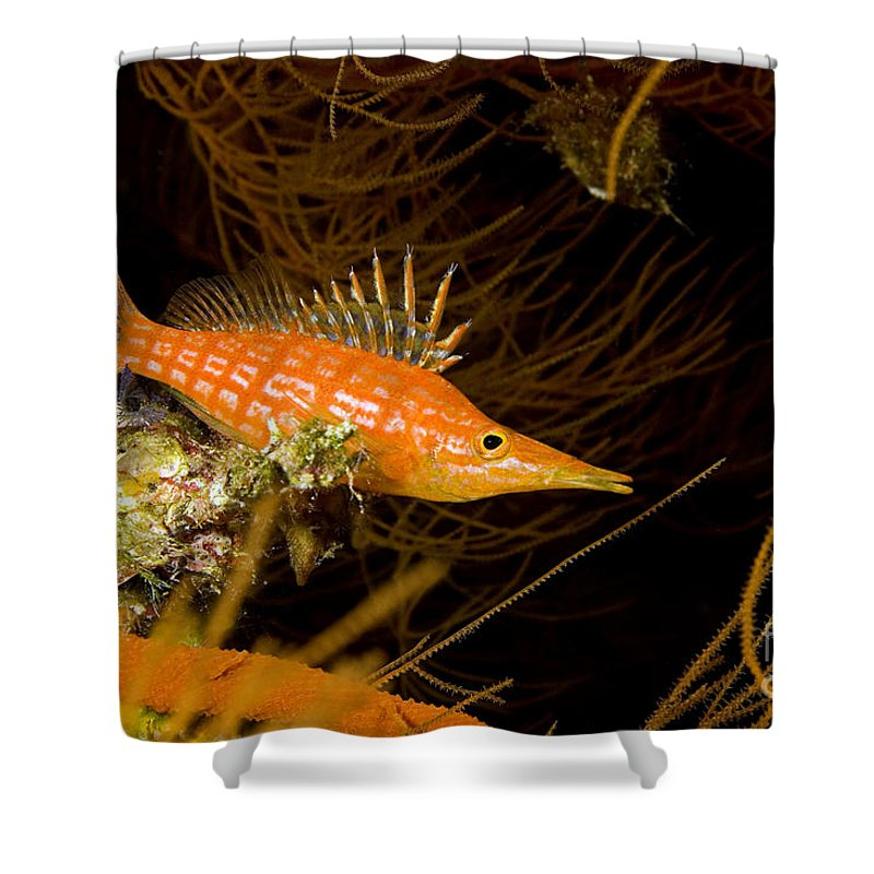 Animal Art Shower Curtain featuring the photograph Longnose Hawkfish by Dave Fleetham - Printscapes