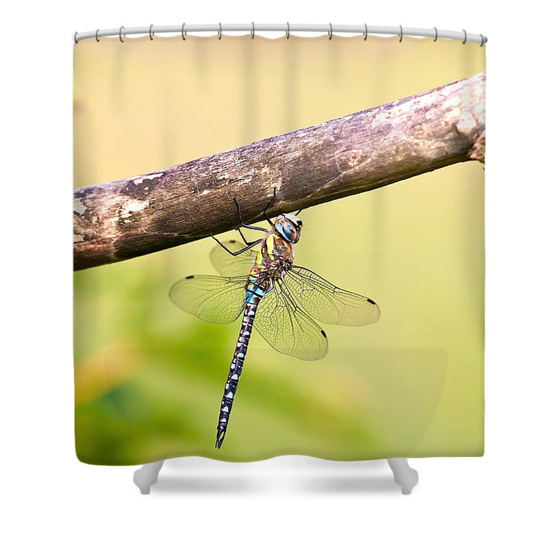 Aeshna Mixta Shower Curtain featuring the photograph Male Migrant Hawker by Don De la Rambelje
