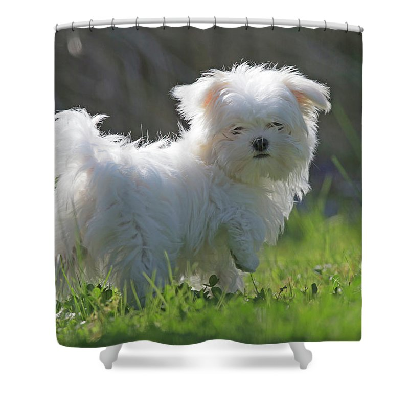 Bichon Maltais Shower Curtain featuring the photograph Maltese by Jean-Luc Baron