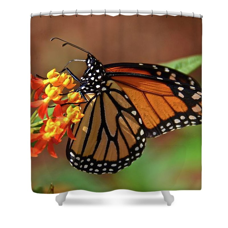 Monarch Shower Curtain featuring the photograph Monarch On Milkweed by Carol Bradley