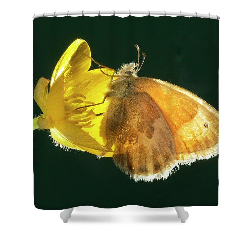 Ochre; Ringlet; Butterfly; Ochre Ringlet; Coenonylmpha Tullia; Butterflies; Inset; Bug; Fly; Flight; Wing; Yellow; Buttercup; Sipping; Nectar; Drinking; Eating; Resting Shower Curtain featuring the photograph Ochre Ringlet Butterfly by Buddy Mays