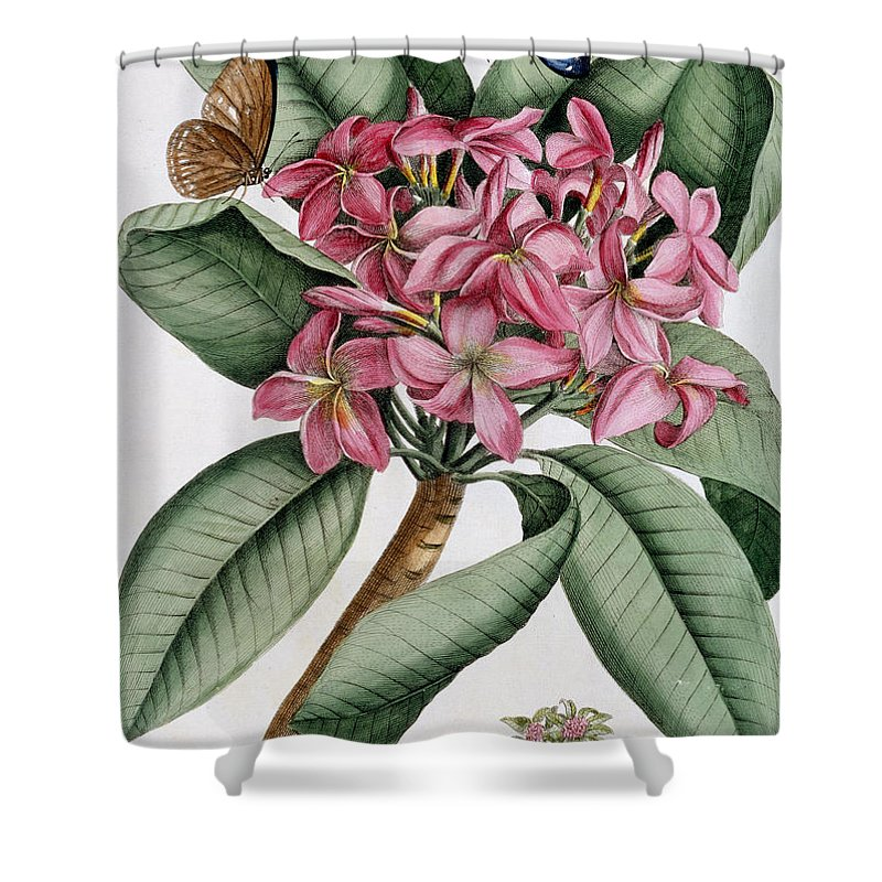 Text Shower Curtain featuring the painting Plumeria by Georg Dionysius Ehret