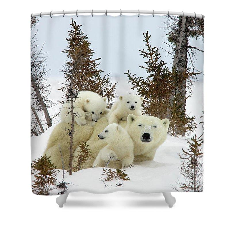 Mp Shower Curtain featuring the photograph Polar Bear Ursus Maritimus Trio by Matthias Breiter