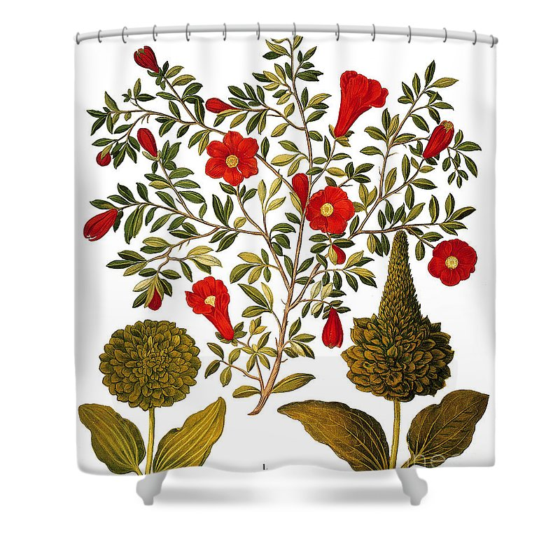 1613 Shower Curtain featuring the photograph Pomegranate, 1613 by Granger
