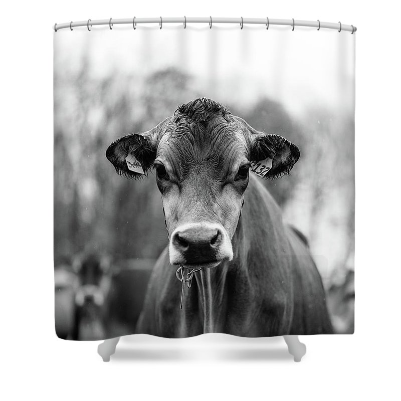Livestock Shower Curtain featuring the photograph Portrait Of A Dairy Cow In The Rain Stowe Vermont by Edward Fielding