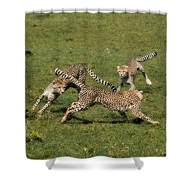 Africa Shower Curtain featuring the photograph Ring Around The Cheetahs by Michele Burgess