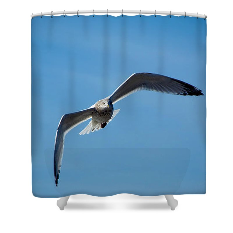Seagull Shower Curtain featuring the photograph Seagull In Flight by Steven Natanson