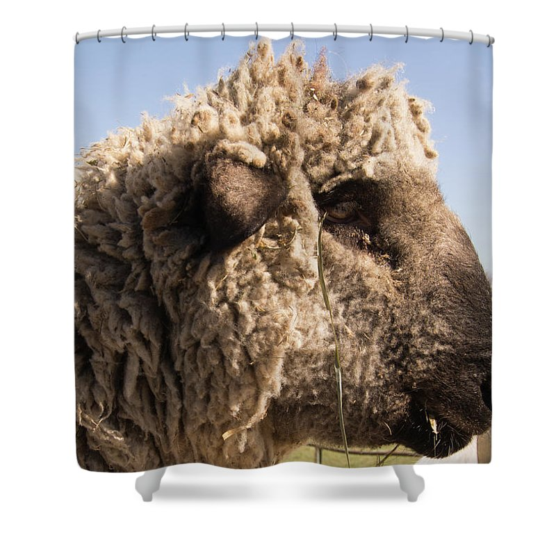 Sheep Shower Curtain featuring the photograph Sheep In Profile by Diane Schuler