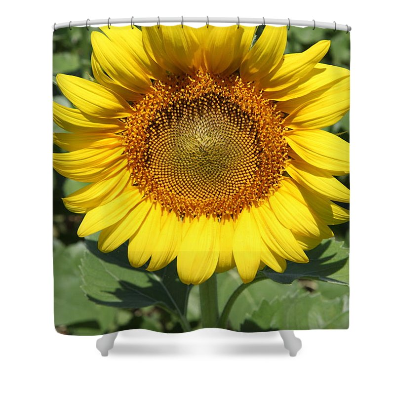 Sunflowers Shower Curtain featuring the photograph Sunflower 09 by Amanda Barcon
