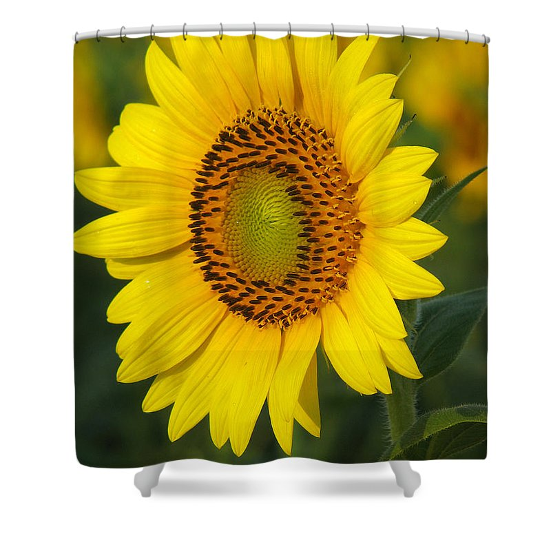 Sunflowers Shower Curtain featuring the photograph Sunflower by Amanda Barcon