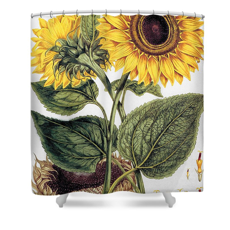 1777 Shower Curtain featuring the photograph Sunflower by Granger