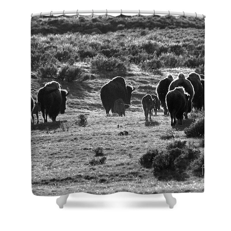 Bison Shower Curtain featuring the photograph Sunset Bison Stroll Black And White by Adam Jewell