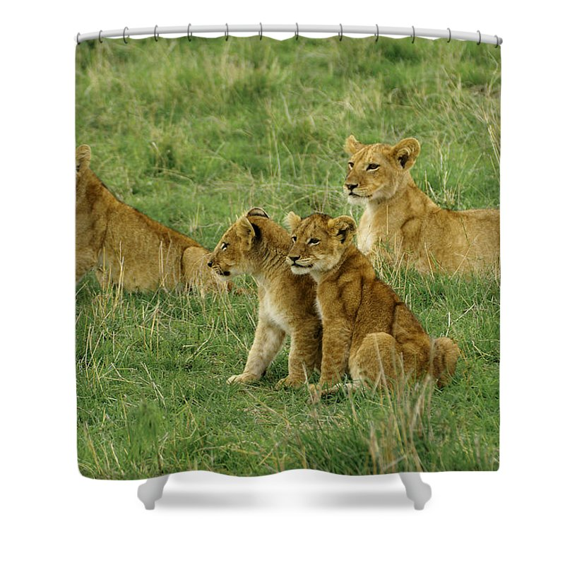 Lion Shower Curtain featuring the photograph The Four Musketeers by Michele Burgess