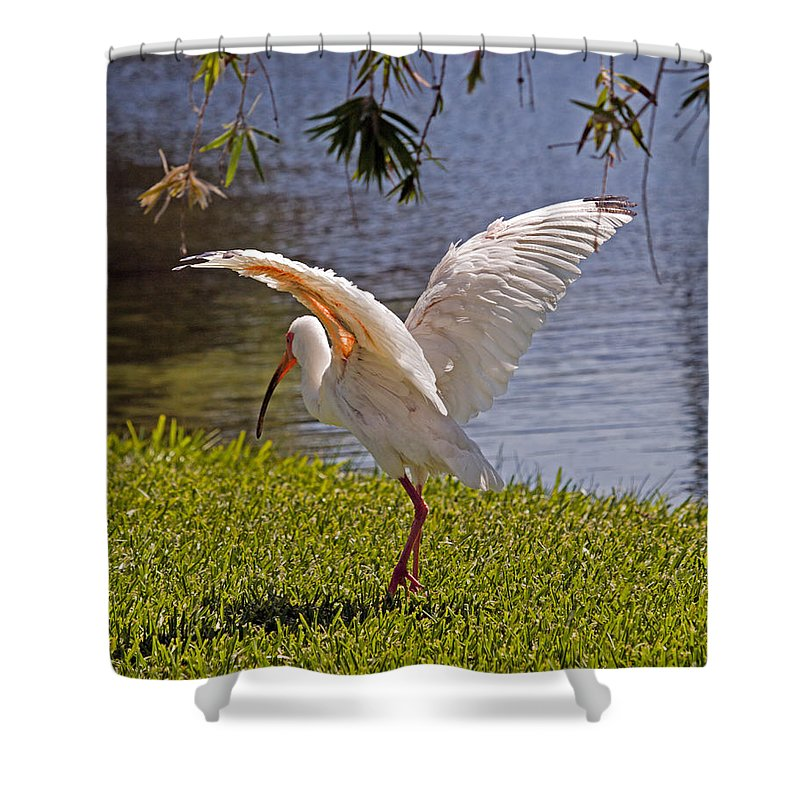 Ibis; White; Bird; Florida; Frog; Pollywogs; Pond; Seabird; Shore; Coast; Water; Fowl; Waterfowl; Fe Shower Curtain featuring the photograph White Ibis by Allan Hughes