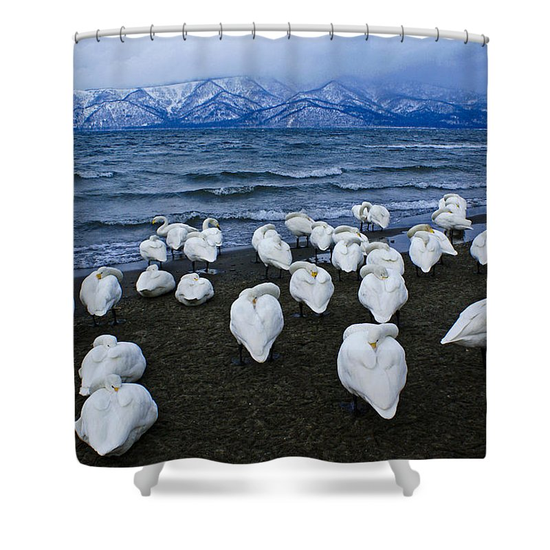 Japan Shower Curtain featuring the photograph Whooper Swans In Winter by Michele Burgess