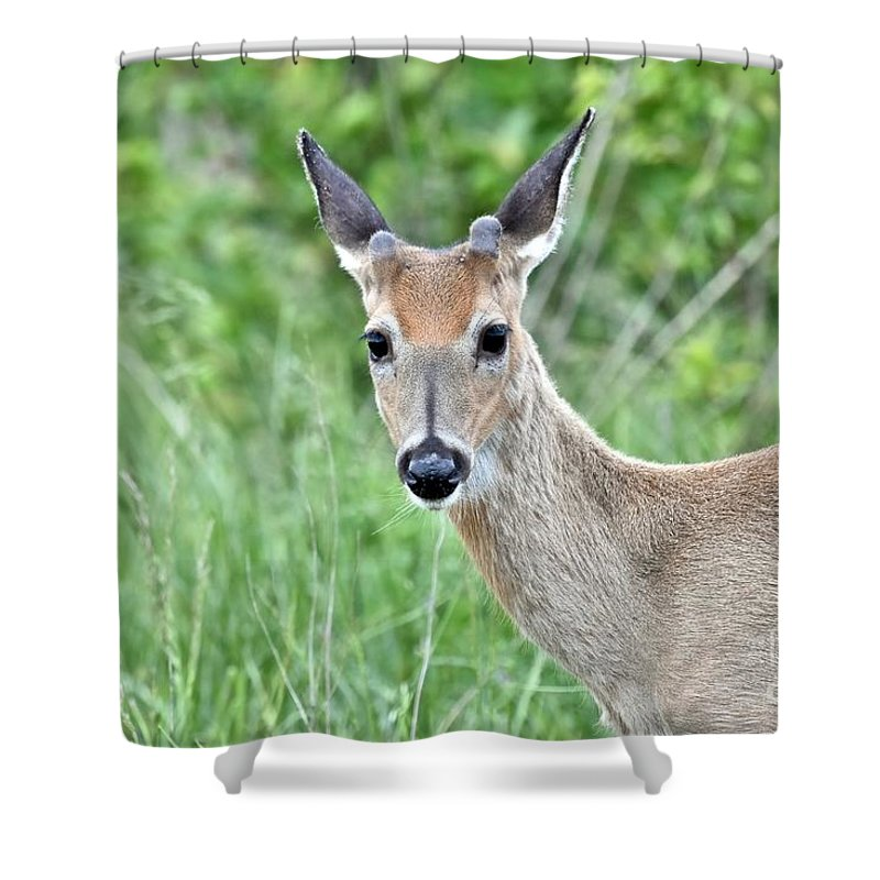 Animal Shower Curtain featuring the photograph Young White-tailed Buck In Velvet by Jeramey Lende