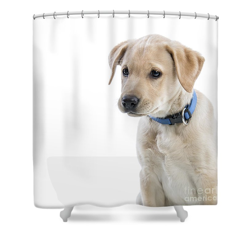 Photography Shower Curtain featuring the photograph Labrador Puppy by Gunnar Orn Arnason