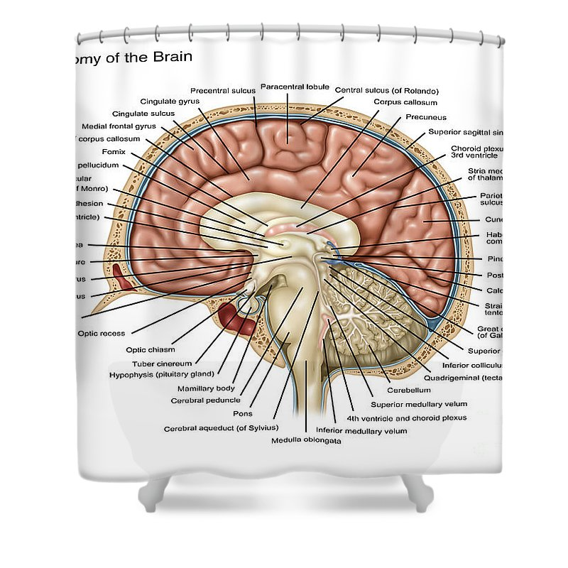 Anatomy Of The Brain Illustration Shower Curtain For Sale By Gwen