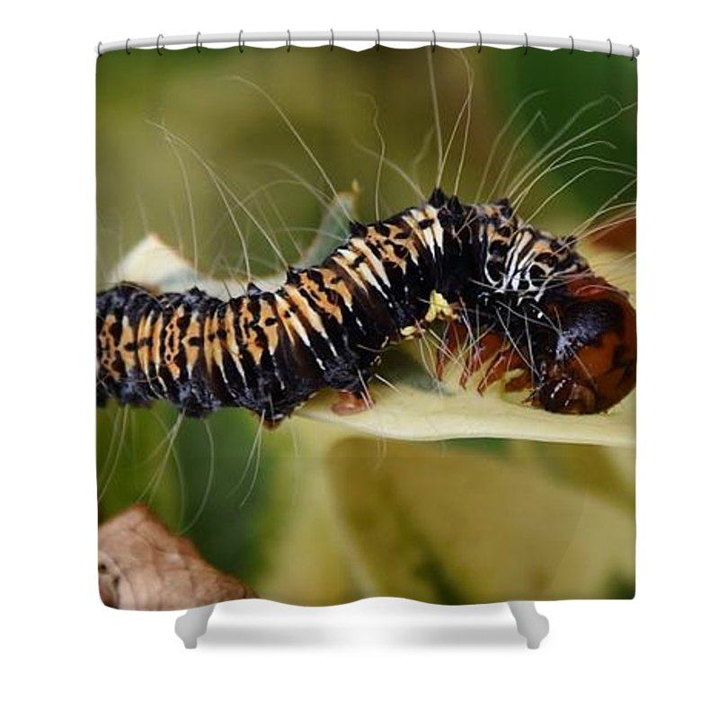 Close Up; Caterpillar; Leafs; Plant; Animal; Insect; Green; Garden; Ficus Tree; Yellow; Black; Hairy; Shower Curtain featuring the photograph Caterpillar by Werner Lehmann