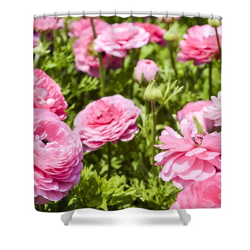 Pink Shower Curtain featuring the photograph field of cultivated Buttercup by Doron Magali
