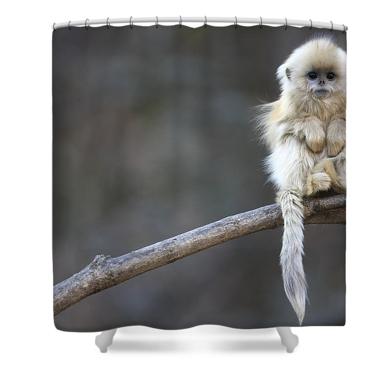 Mp Shower Curtain featuring the photograph Golden Snub-nosed Monkey by Cyril Ruoso