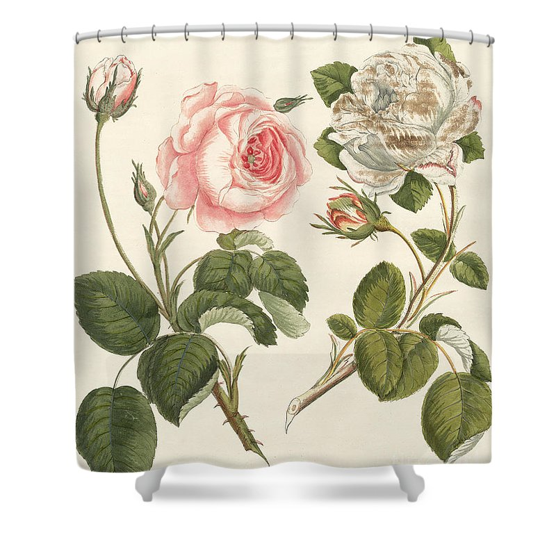Cabbage Rose Shower Curtains | Fine Art America