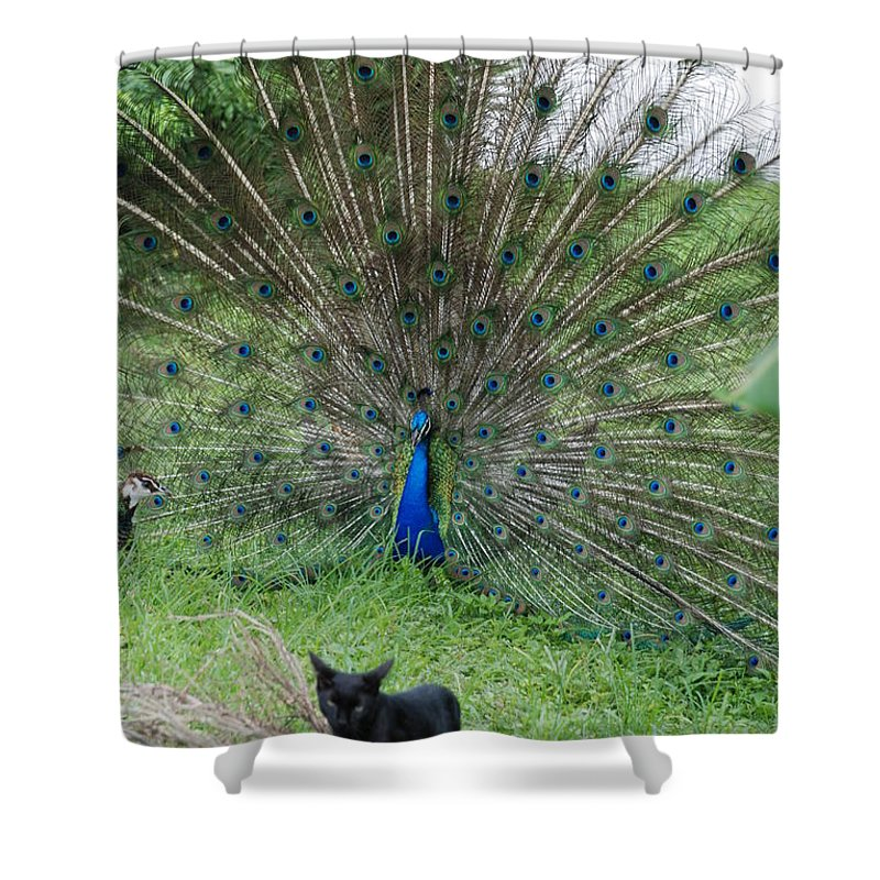 Animals Shower Curtain featuring the photograph 2 Peacocks And A Black Pussy Cat by Rob Hans
