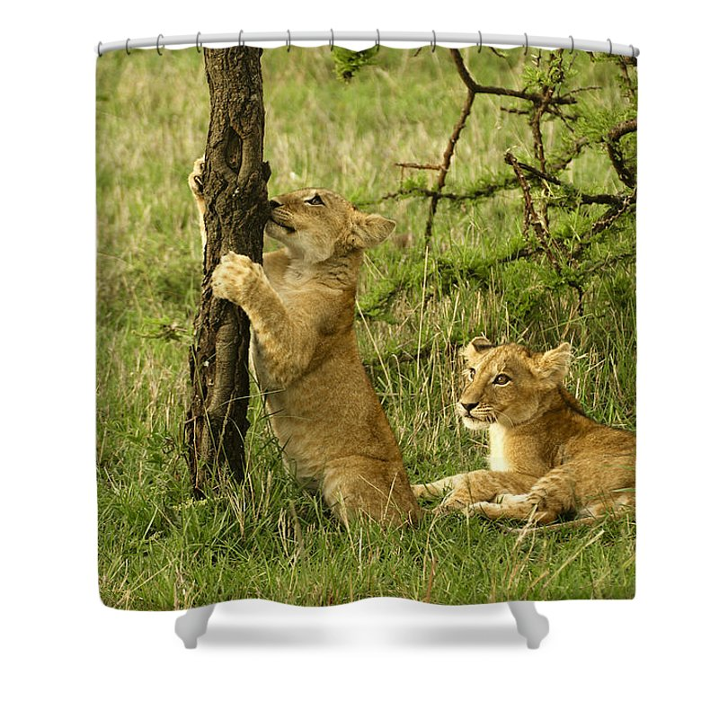 Lion Shower Curtain featuring the photograph Playtime by Michele Burgess