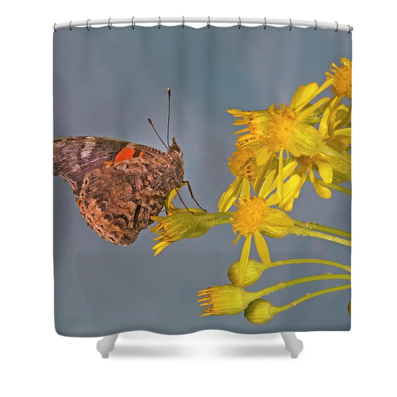 Red; Admirable; Admiral; Vanessa; Atalanta; Vanessa Atalanta; Searching; Fo; Nectar; Butterflies; Inset; Bug; Fly; Flight; Wing; Yellow; Buttercup; Sipping; Nectar; Drinking; Eating; Resting Shower Curtain featuring the photograph Red Admirable Butterfly by Buddy Mays