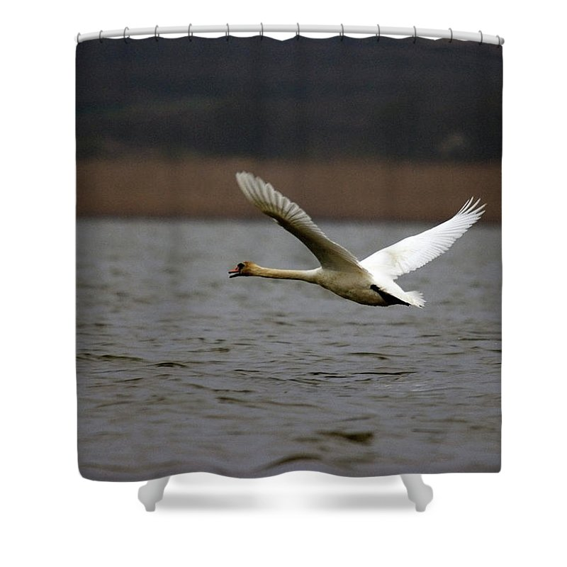 Swan In Flight Shower Curtain featuring the photograph Swan During Take Off by Cliff Norton