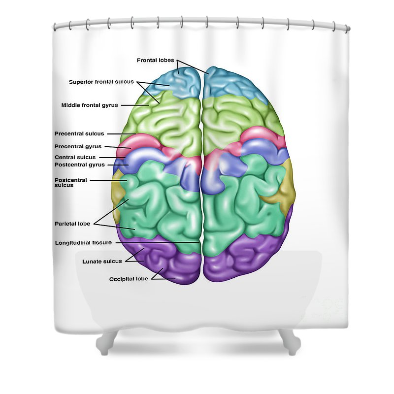 Top View Of Normal Brain, Illustration Shower Curtain