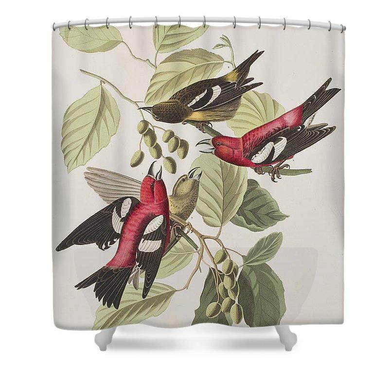 Crossbill Shower Curtains