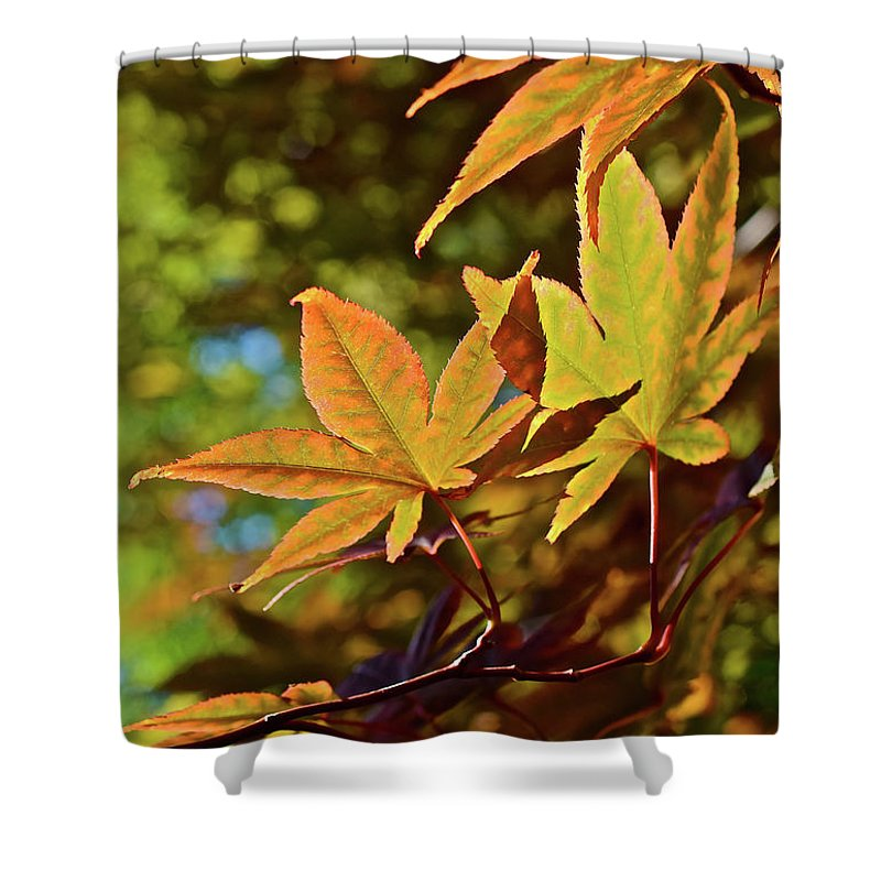 Japanese Maple Shower Curtain featuring the photograph 2016 Japanese Maple In The Sunlight by Janis Nussbaum Senungetuk