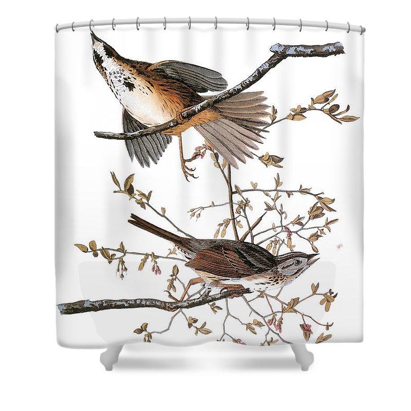 1827 Shower Curtain featuring the photograph Audubon: Sparrow, (1827-38) by Granger