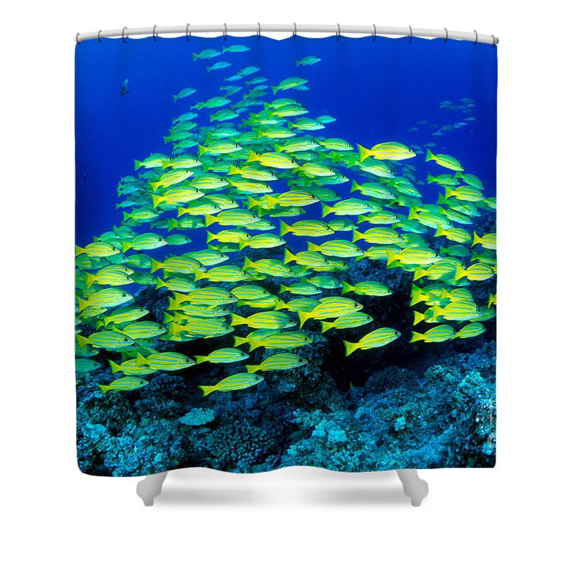 30-pfs0059 Shower Curtain featuring the photograph Bluestripe Snapper by Dave Fleetham - Printscapes