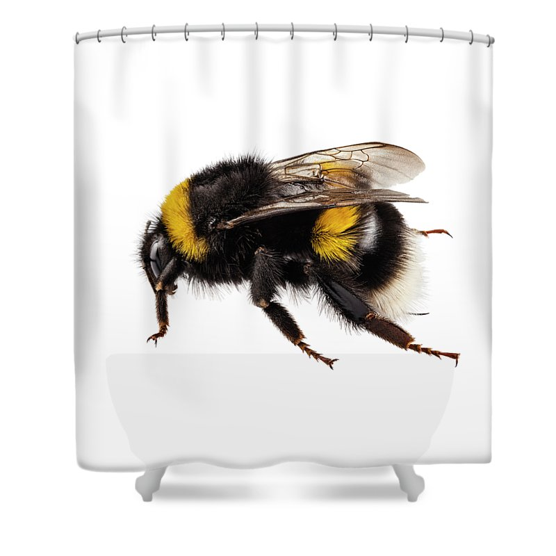 Animal Shower Curtain Featuring The Painting Bumblebee Species Bombus Terrestris By Pablo Romero