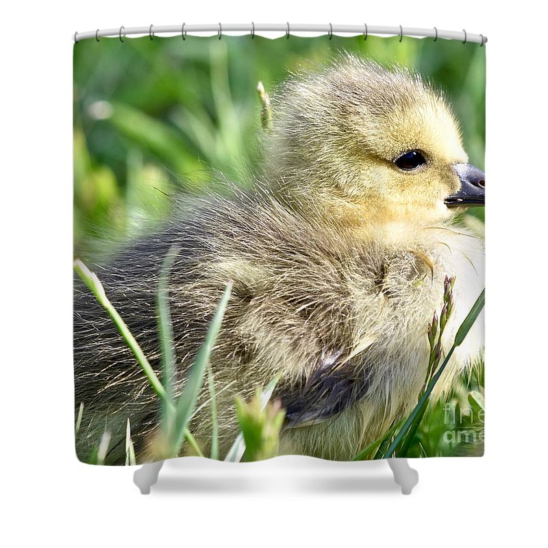 Adorable Shower Curtain featuring the photograph Cute Baby Goose by Jeramey Lende