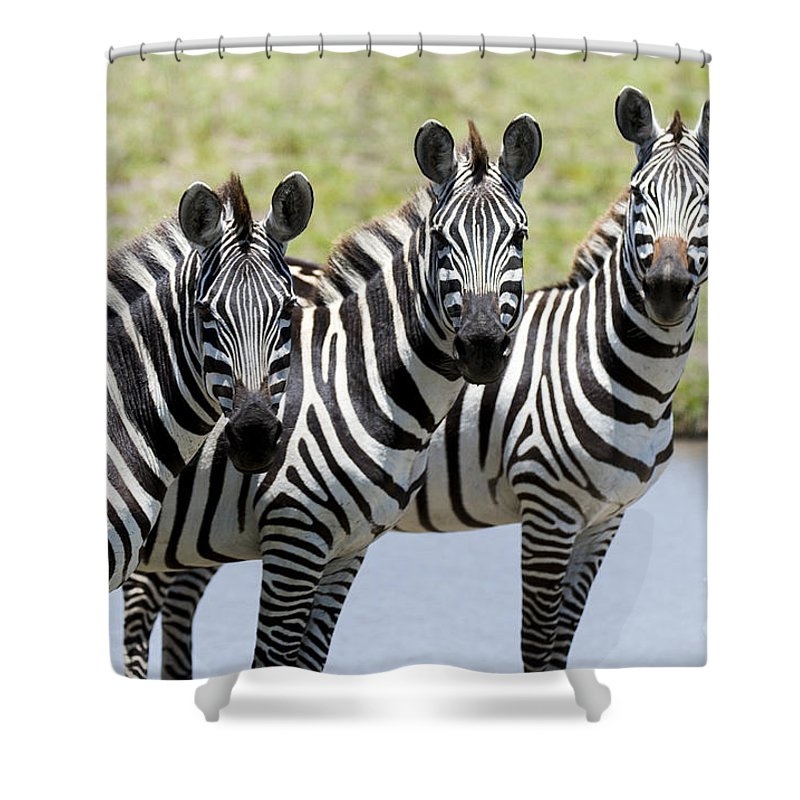 Safari Shower Curtain featuring the photograph 3 In A Row by Bryan Pereira