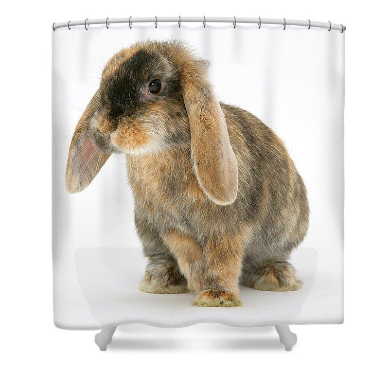 Dwarf Lop Rabbit Shower Curtain Featuring The Photograph Tortoiseshell By Jane Burton
