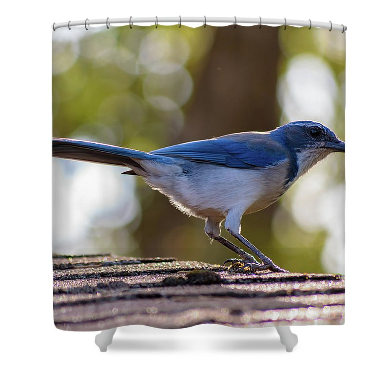 Blue Jay Shower Curtain featuring the photograph Western Scrub Jay by Daniel LaFollette