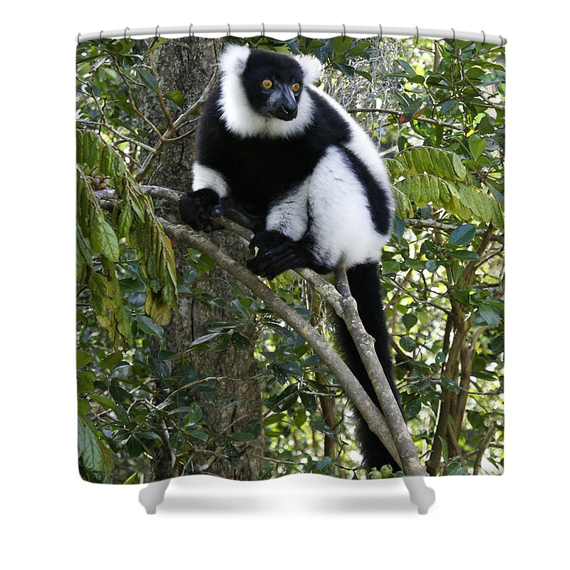 Madagascar Shower Curtain featuring the photograph Black And White Ruffed Lemur by Michele Burgess