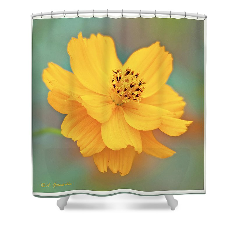 Cosmos Shower Curtain featuring the photograph Cosmos Flower In Full Bloom by A Gurmankin
