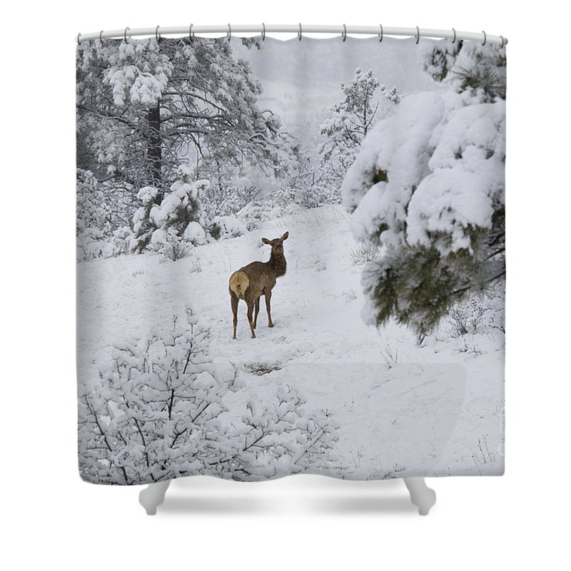 Elk Shower Curtain featuring the photograph Elk In Deep Snow In The Pike National Forest by Steve Krull