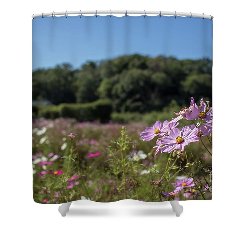 Asia Shower Curtain featuring the photograph Sensation Cosmos Bipinnatus Fully Bloomed Colorful Cosmos On M by Eiko Tsuchiya
