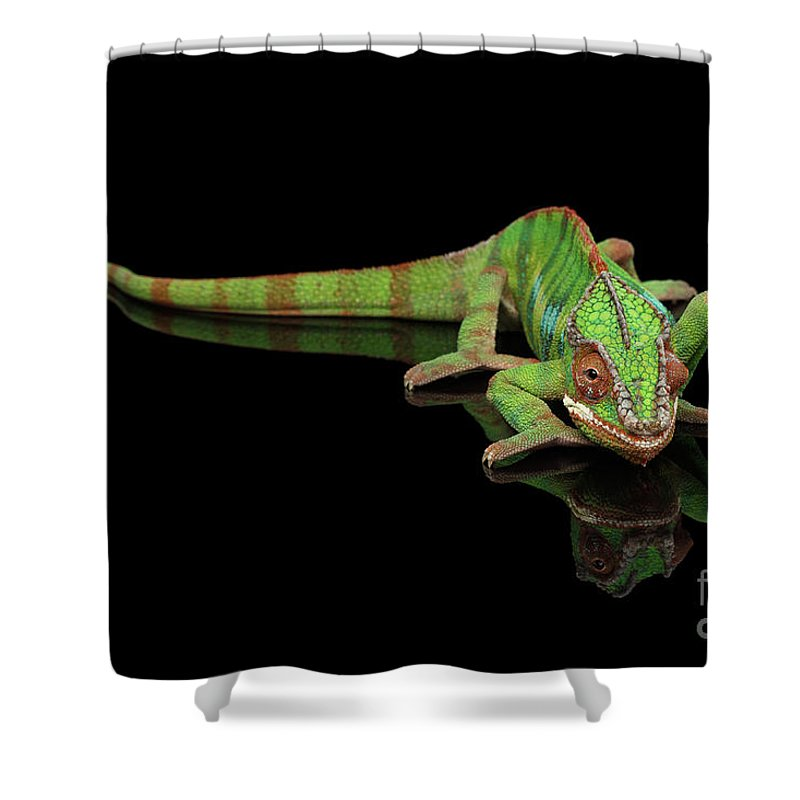 Chameleon Shower Curtain featuring the photograph Sneaking Panther Chameleon, Reptile With Colorful Body On Black Mirror, Isolated Background by Sergey Taran